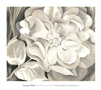 The White Calico Flower, 1931 Framed Print