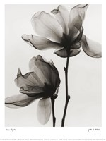 Saucer Magnolia Fine Art Print