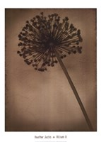Allium II Fine Art Print