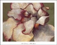 White Begonia Framed Print