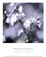 Cherry Blossoms II Fine Art Print