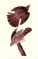 "Cooper S Hawk by John James Audubon - 11"" x 17"""