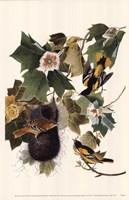Northern Oriole Fine Art Print