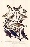 Townsend S Warbler S Fine Art Print