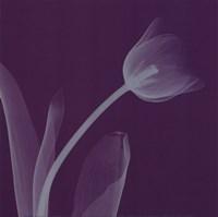 """Tulipsilver (Sm) by Steven N. Meyers - 8"""" x 8"""""""