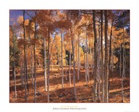 "Autumn Aspens by John Gavrilis - 30"" x 24"""