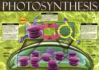 Photosynthesis Fine Art Print