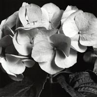 """Hydrangea by Darlene Shiels - 12"""" x 12"""""""