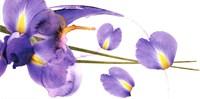 """39"""" x 20"""" Iris Pictures"""