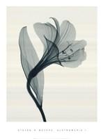 Alstromeria I Fine Art Print