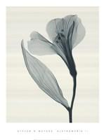 Alstromeria II Fine Art Print