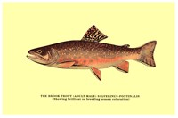 Brook Trout (Showing Brilliant or Breeding Season Coloration) Fine Art Print