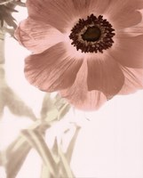 Anemone Radiance Framed Print