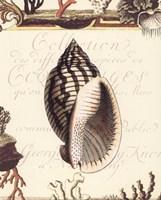 Coquilles II Fine Art Print
