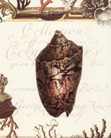 Coquilles IV Fine Art Print