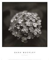 """Hydrangea by Dana Buckley - 13"""" x 16"""""""