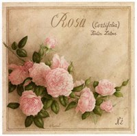 Rosa Centifolia Fine Art Print