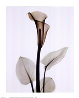 Calla One Fine Art Print