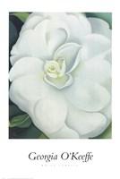 White Camellia Fine Art Print