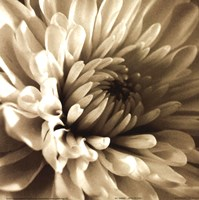 "Sepia Bloom I by Steven Mitchell - 8"" x 8"" - $9.99"