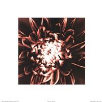 """Dahlia by Mark Baker - 12"""" x 12"""""""