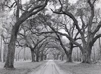 Oak Arches Fine Art Print
