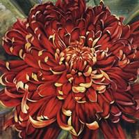 """Chrysanthemum by Selina Werbelow - 27"""" x 27"""""""