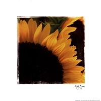 "Sunflower Daze by John Jones - 12"" x 12"""