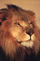 """Lion Close Up by Daphne Brissonnet - 24"""" x 36"""""""