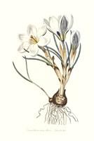 Crocus Biflorus Fine Art Print
