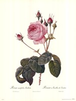 Centifolia Bullata Fine Art Print