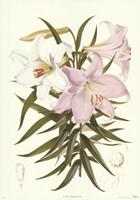 Kramers Lily Fine Art Print