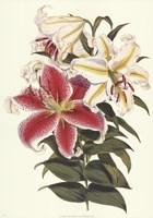 Parkman's Lily Fine Art Print