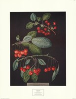 Cherries (A) Fine Art Print