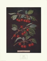 Cherries (B) Fine Art Print