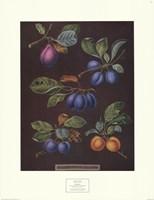 Plums (A) Fine Art Print