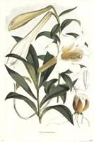 Lilium Neilgherriense Fine Art Print