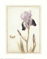 Purple Iris with Beard II Fine Art Print