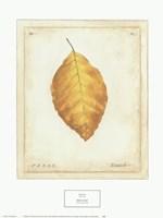 Beech Leaf Framed Print