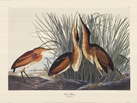 "Least Bittern by John James Audubon - 27"" x 20"""