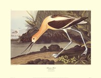 "American Avocet by John James Audubon - 30"" x 23"""