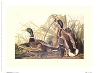 Mallard Duck Fine Art Print