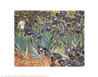 Iris Garden Fine Art Print