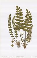 "Sea Spleenwort by John Singer Sargent - 9"" x 13"""