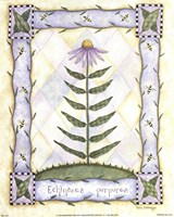 Echinacea Purpurea Fine Art Print