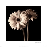 """Gerber Daisies I by Michael Harrison - 16"""" x 16"""""""