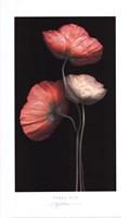 "Poppy Trio by S.G. Rose - 12"" x 20"""