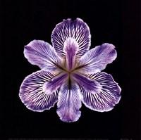 "Tiger Iris by Mali Nave - 8"" x 8"""