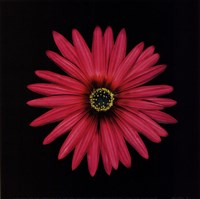 """Pink Daisy by Mali Nave - 8"""" x 8"""""""