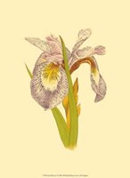 Iris Bloom I Fine Art Print